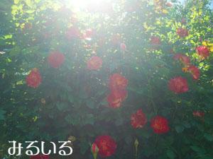 赤い薔薇と太陽|手作りアクセサリー工房みるいる