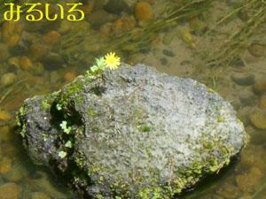 川の真ん中 岩に花|手作りアクセサリー工房みるいる