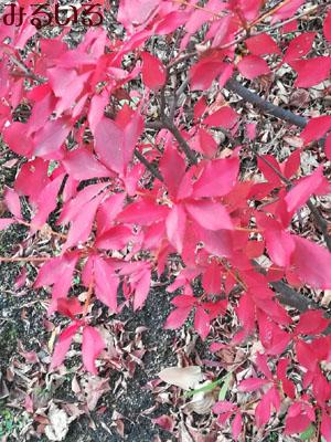 真っ赤で綺麗。なんの木かどこかも知りませんが。。|手作りアクセサリー工房みるいる