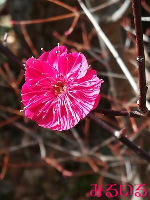 東風吹かば にほひおこせよ 梅の花 あるじなしとて 春な忘れそが頭に浮かぶ^^|手作りアクセサリー工房みるいる
