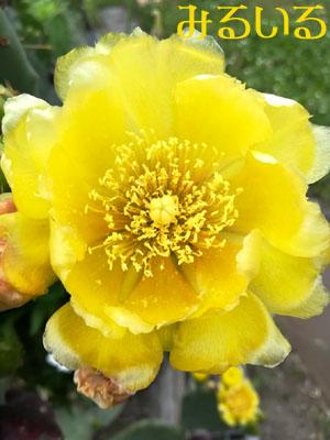 太陽と同じ色のサボテンの花|手作りアクセサリー工房みるいる
