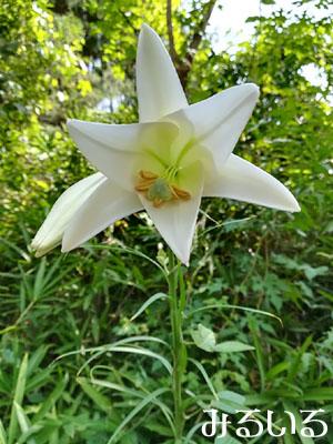 いっぱい咲いてる白いユリの名は|手作りアクセサリー工房みるいる