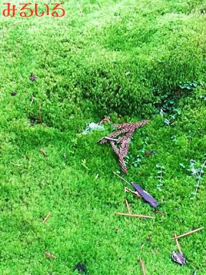 これがどこの苔たちなのかってことが、そんなのどうだっていい!というくらい綺麗だったです|手作りアクセサリー工房みるいる