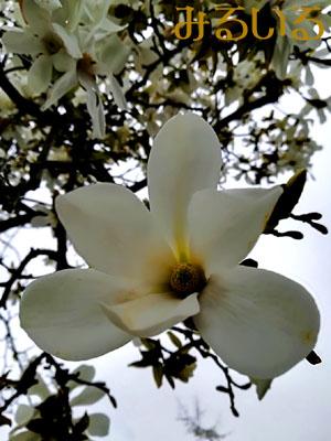 その道は白い花で飾られて 手作りアクセサリー工房みるいる