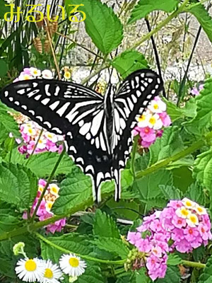 ランタナが大好きなくせに扱いがちょっとヒドイ蝶々^^;|手作りアクセサリー工房みるいる