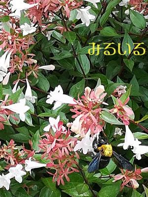 大人気のその白い花々はちょっぴりいい香りで車道に沿ってたくさん植えられていることが多くい、大人気の