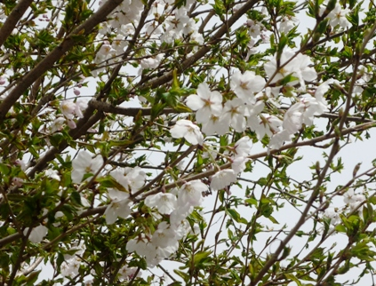 葉桜2.JPG