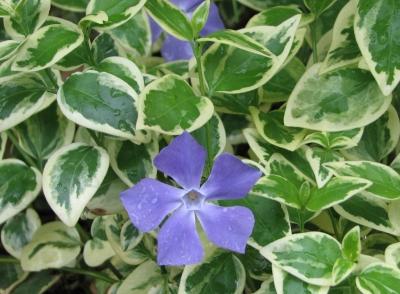 名前不詳の紫の花