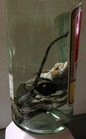 トカゲ酒 馬髭蛇酒