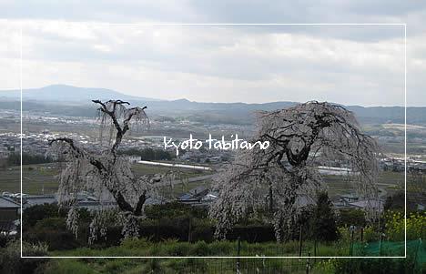 地蔵禅院 桜