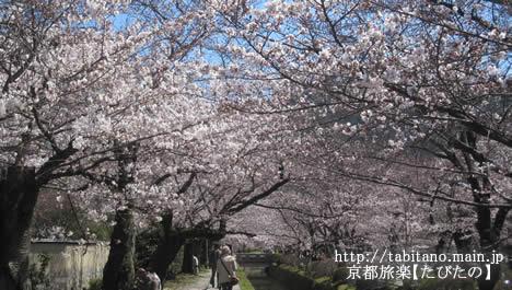 哲学の道 桜