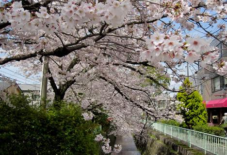 北白川 桜