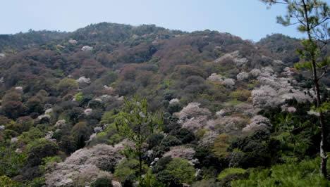 大河内山荘 桜