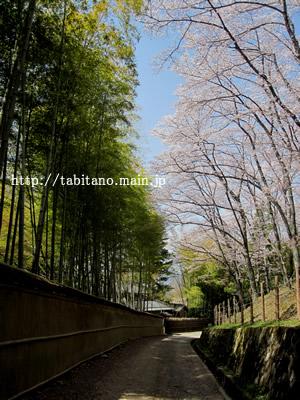 大田の小径 桜