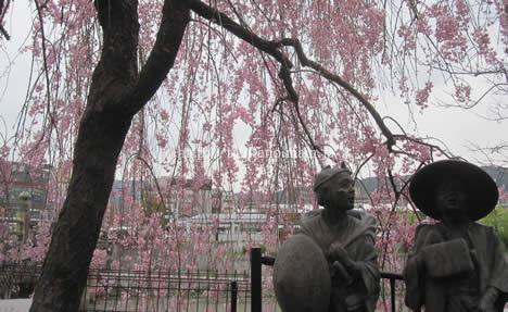 三条大橋桜