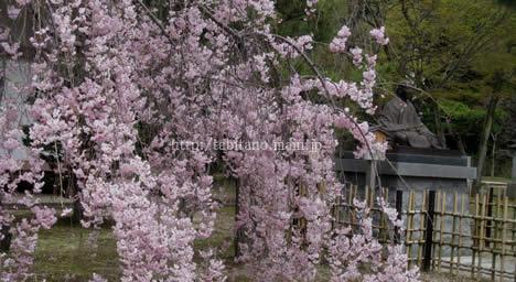 智積院 桜