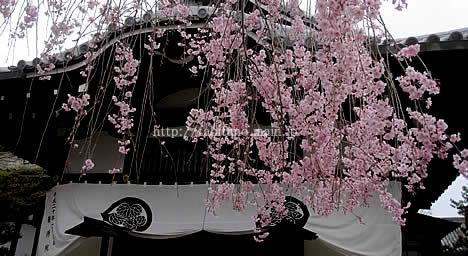 養源院 桜