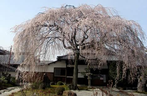 本満寺 桜