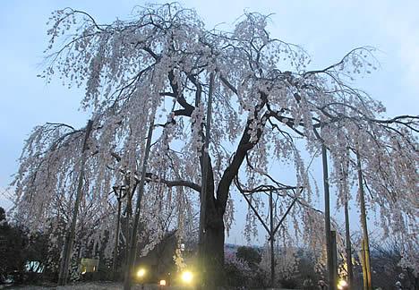 京都市植物公園 桜