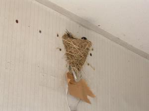 紐と画鋲で修理した「ツバメの巣」