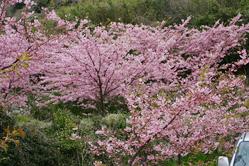 小積の河津桜 3月22日