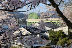 季節を感じさせてくれる桜が満開です
