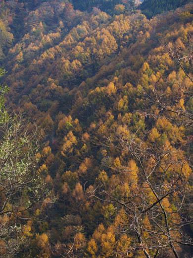 井川雨畑林道(山梨県側)のカラマツの紅葉その2