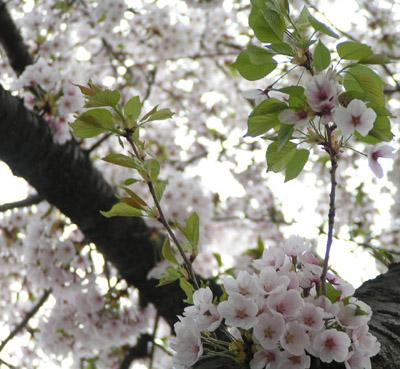 2006年5月 盛岡市月が丘の桜 近景