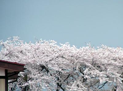 2006年5月 盛岡市月が丘の桜 遠景