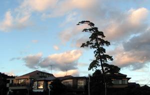 富士見ヶ丘の松