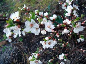 調布の桜2007