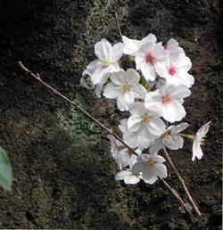 杉並の桜2007