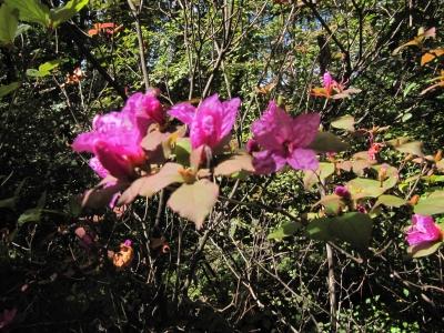紅葉ミツバツツジ花1