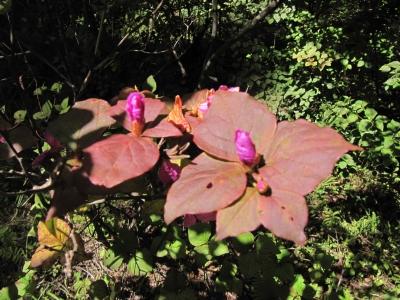 紅葉ミツバツツジ花2