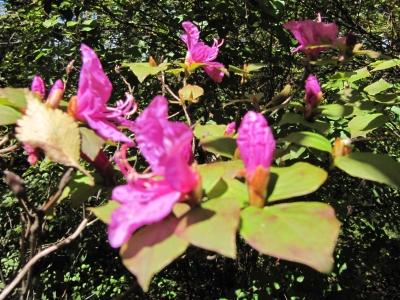 紅葉ミツバツツジ花3