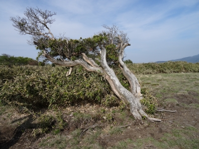 旗状樹形1