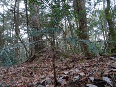 モミの木の幼樹