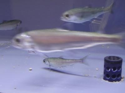 クニマス幼魚