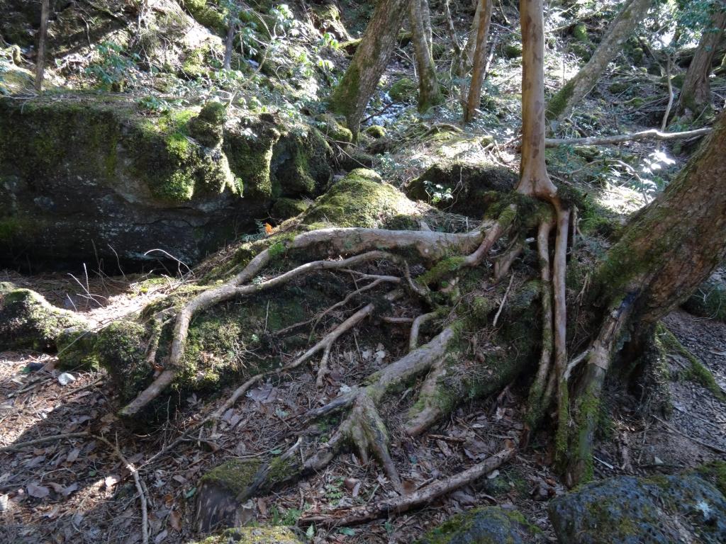 樹海の根っこ