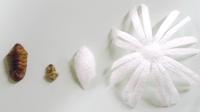 蛹と脱皮殻と繭