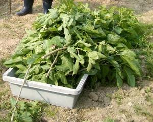 桑くれ用の収穫