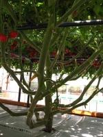 tomatotree