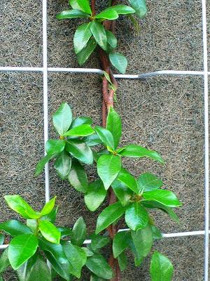 壁面植栽ワイヤーに止め付ける
