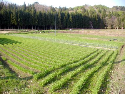 5月15日の小麦