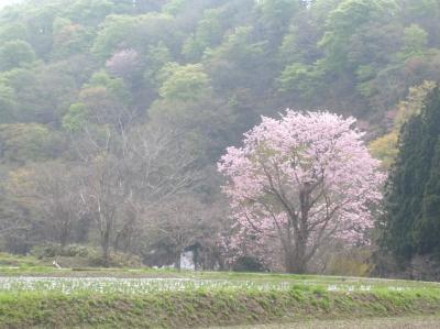 山桜2012