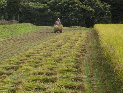 2012稲刈り5