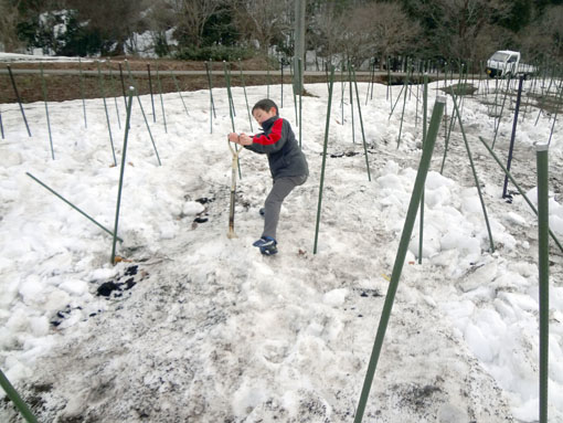りんどう雪掘り