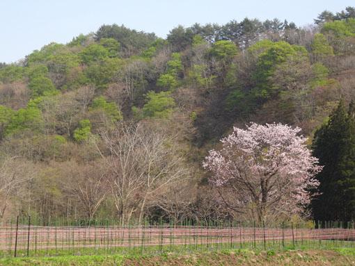 桜2013_2