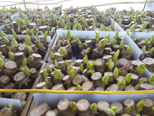 タラノメ収穫期