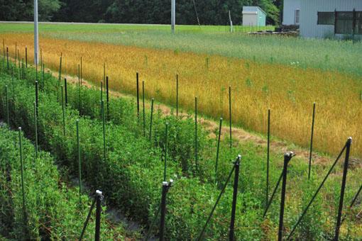 小麦とりんどう7月